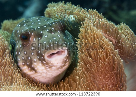 White-spotted Puffer (Arothron hispidus) - stock photo