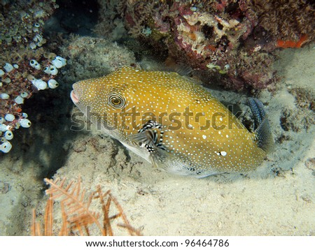White Spotted Puffer Fish (Arothron hispidus) with corals underwater in Indo-Pacific Ocean, Indonesia.