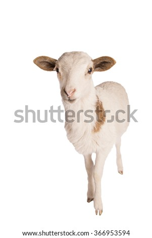 White spotted sheep standing isolated on white background - stock photo