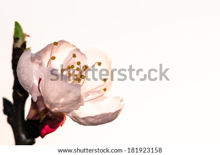 white spring blossoming flower background - stock photo