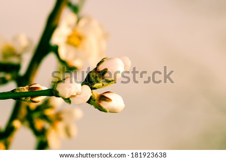 white spring blossoming flower background filtered effect - stock photo