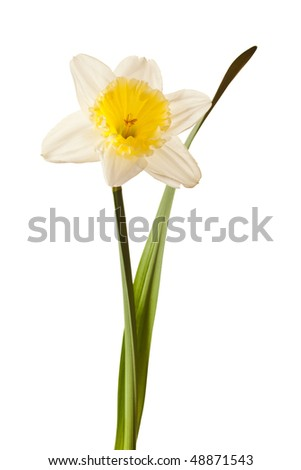 White Spring Daffodil Flower Isolated on White Background