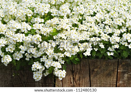 White spring flowers and wooden fence in sunny day in village - stock photo