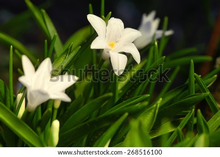 white spring flowers Chionodoxa blooming in the garden soft focus - stock photo