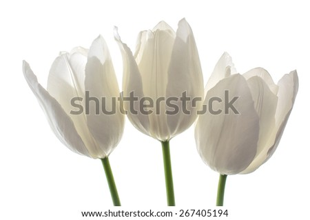 white spring flowers, tulips on white background