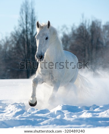 White stallion running in a sunny winter day - stock photo