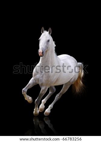 white stallion runs - stock photo