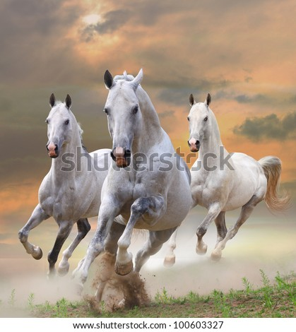 white stallions in dust in a sunset