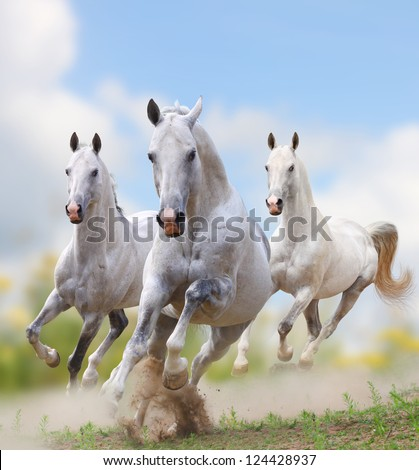 white stallions in dust over a white
