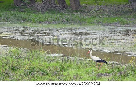 White Stork (Ciconia ciconia) in spring time - stock photo