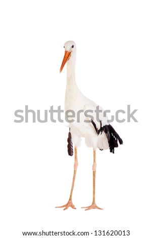 White Stork - Ciconia ciconia. Isolated on white.