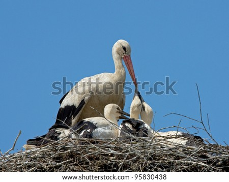 White stork feeding chicks