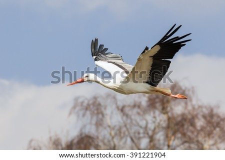 White stork flying past the woods. A beautiful white stork flies past some woodland. - stock photo