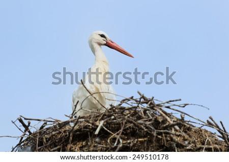White stork on nest against blue background - stock photo