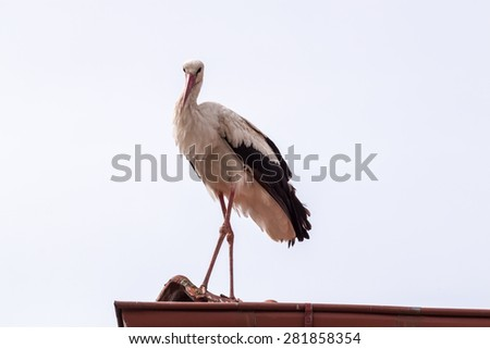 White stork standing on a roof