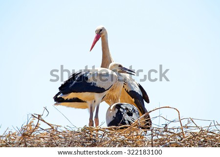 White stork with young baby storks on the nest - Ciconia ciconia - stock photo