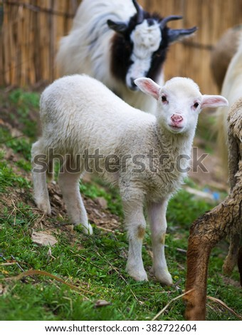 white suffolk lamb, a few days old, standing on the grass - stock photo