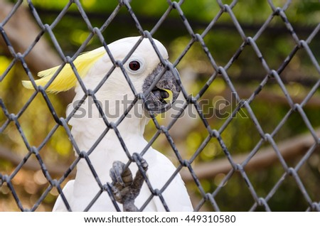 White sulphur crested cockatoo in cage close up - stock photo