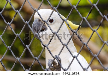 White sulphur crested cockatoo in cage close up