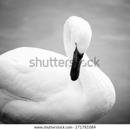 white swam monochrome portrait - stock photo