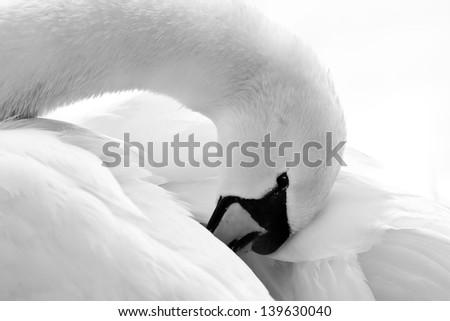 white Swan - stock photo