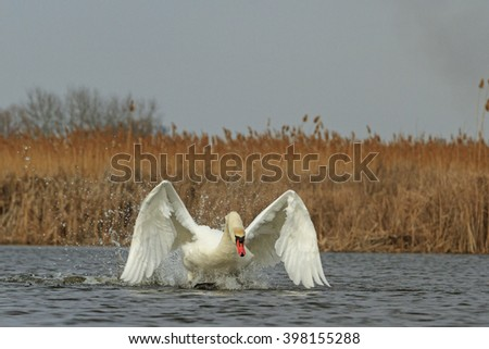 White Swan accelerates wings on blue water - stock photo