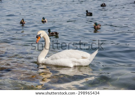 White swan and ducks floating on green water in a lake. - stock photo