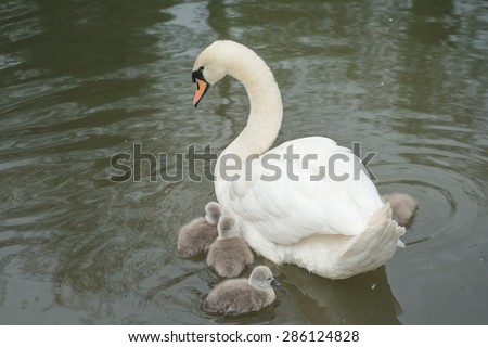 White Swan and its Cygnets in Cambridge - stock photo