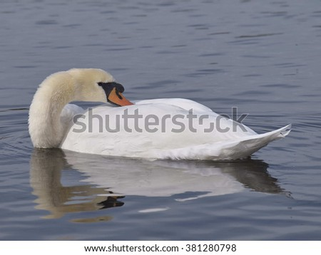 White Swan at Rest
