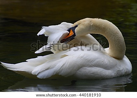 white swan cleaning its feathers in contrast with dark water