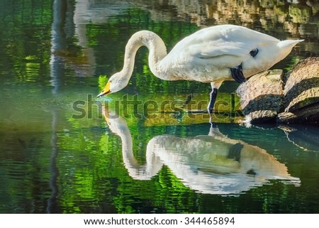 White Swan Drinks Water from the Pond - stock photo