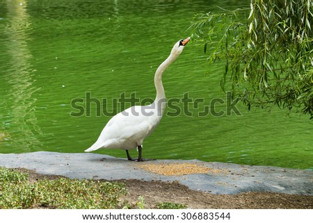 White swan eating near a lake  - stock photo