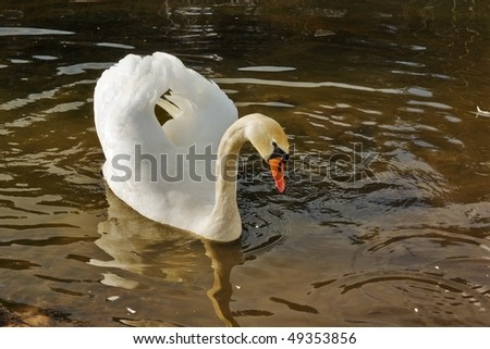 white swan float on brown spring water