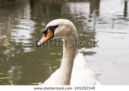 white swan floating in the water - stock photo