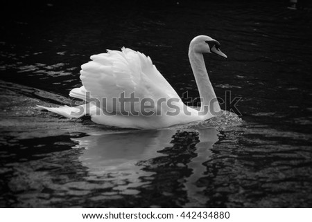 White swan floating on still water with reflection in black and white - stock photo