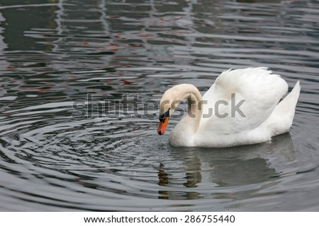 white swan floating on the lake - stock photo