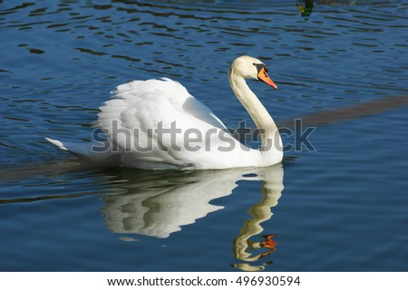 White swan floating on the water surface of the river