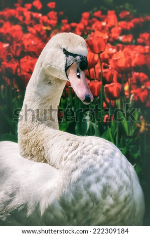 White swan in red tulip field