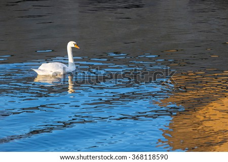 White swan in the water. - stock photo