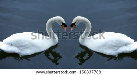 White swan in the water, in love