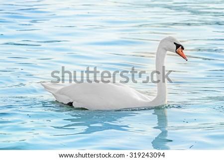 white swan on a lake - stock photo