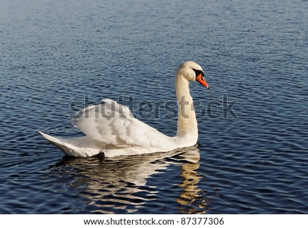 White swan on a lake.