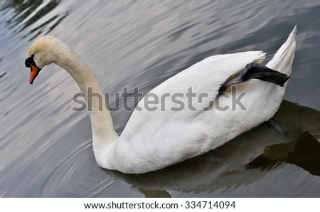 white swan on a pond - stock photo