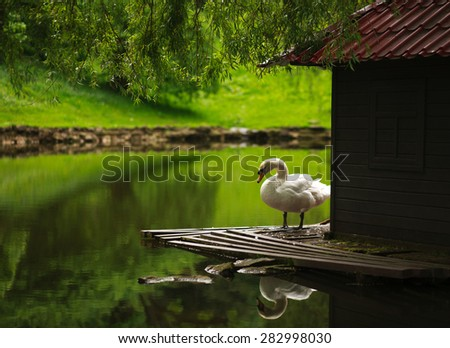 White swan on a pond in a city park in summer on a background of greenery - stock photo