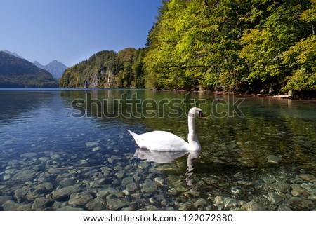 white swan on lake Walchensee during autumn - stock photo