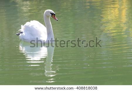white swan on the lake - stock photo