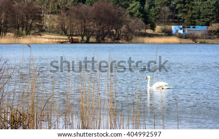 White swan on the lake among reeds
