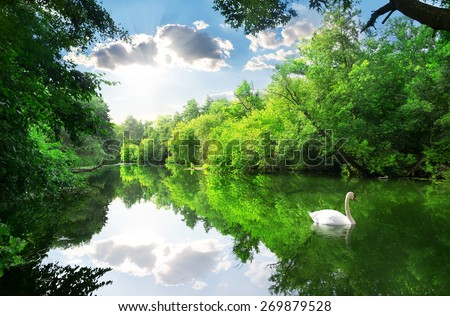 White swan on the river in summer forest - stock photo