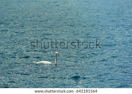 White swan on water,Beautiful swan. Cygnus