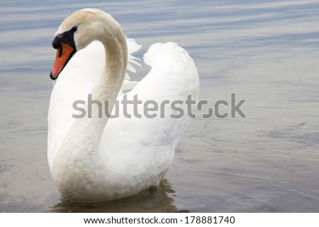 White swan on water surface. Svityaz lake, Shatsk, Ukraine. - stock photo